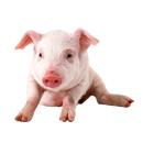 仔猪价格/行情/养殖基地